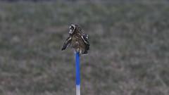Jorduggla Short-eared Owl Asio flammeus (Bjorn Johansson) Tags: jorduggla shortearedowl asioflammeus owls
