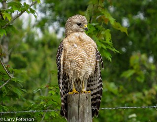 What to do when your hawk feathers are wet