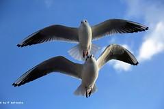 Seagull - Piran January 2017 04 (reineckefoto) Tags: seagulls piran sea blue sky bird