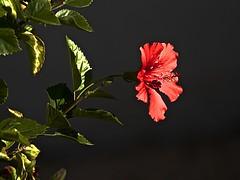 HIBISCUS (akfoto) Tags: flower hibiscus