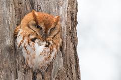 Eastern Screech Owl (Jesse_in_CT) Tags: easternscreechowl nikon200500mm