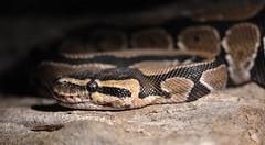 Python Regius (The kun) Tags: nikon nikond7100 sigma sigma105macro werner snake python pythonregius reptile amphibian animal animalplanet