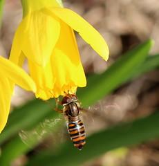 Episyrphus balteatus landet an Narzisse , NGIDn1752473126 (naturgucker.de) Tags: ngidn1752473126 naturguckerde episyrphusbalteatus marburglahn anderzahlbach creinhardnaumann