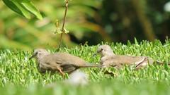 pomba rola (jakza - Jaque Zattera) Tags: passarinho ave dois grama