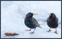 twin-bird (fadelemad324) Tags: bird beauty nikon nature nik nikond7000 twin d7000 dslr digital photography photo spring winter snow ottawa canada