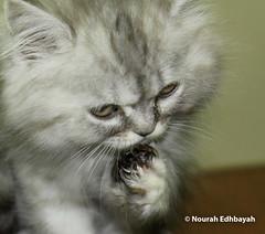 Lonely (Nourah.A.Edhbayah (Super Flower♥إظبيه)) Tags: cats cat قطط قطه الكويت اظبيه عبدالله نوره lonely kuwait q8 edhbayah abdullah nourah