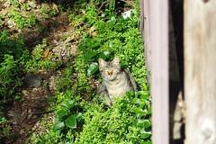 Today's Cat@2017-03-12 (masatsu) Tags: cat thebiggestgroupwithonlycats catspotting pentax mx1