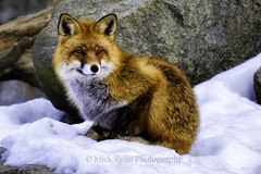 Fox (Mick Ryan Photography) Tags: europe scandanavia stockholm sweden travel fox nature wildlife