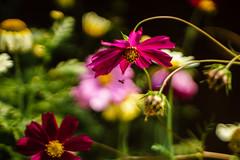Buzzzzy (Brînzei) Tags: flowers summer motion flying bokeh bees m42 manualfocus cluj lzos mărișel jupiter985mmf2mc sonynex7