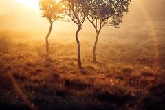 Three (32/50) (Stuart Stevenson) Tags: uk trees light summer mist grass fog sunrise woodland photography golden scotland woods glow ring lightleak lensflare chilly backlit contrejour latesummer goldenlight filteredlight clydevalley magicallandscape stuartstevenson appicoftheweek