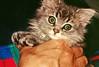 Scorpi08 (d_fust) Tags: cat kitten gato katze 猫 macska gatto fust kedi 貓 anak katt gatito kissa kätzchen gattino kucing 小貓 고양이 katje кот γάτα γατάκι แมว yavrusu 仔猫 का skorpi बिल्ली बच्चा