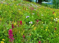 7-092 (Gnarlene) Tags: flower hiking banff healypass monarchramparts