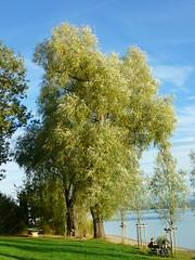 Salix alba (Jrg Paul Kaspari) Tags: autumn tree fall herbst september bodensee baum abre 2015 radolfzell naturfreundehaus markelfingen silberweide salixalba