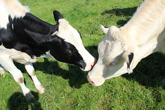 Kiss Kiss Kiss (excellentzebu1050) Tags: animal animals closeup cow cattle outdoor farm animalportraits heifer dairycows oudside coth5 sept2015shootcowsheifers