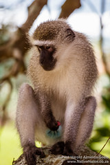 Wild Wanker Monkey in Southbroom, South Africa