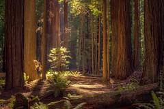 The Redwoods Forest, California. (luke_brandeberry) Tags: california forest sequoia redwoodsforest