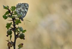 Le Demi-deuil - Melanargia galathea -  (michel lherm) Tags: papillons melanargiagalathea ledemideuil lpidoptres rhopalocres