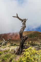 Mauna Kea Trip, Big Island - 23 (www.bazpics.com) Tags: trip usa mountain tree america landscape island volcano hawaii lava drive us big scenery unitedstates cone hill extreme dramatic ash hi hilo volcanoes hillside cones cinder