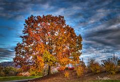 November Oak Wasena Park Roanoke (Terry Aldhizer) Tags: park november autumn tree fall virginia oak roanoke terry wasena aldhizer terryaldhizercom