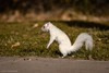 Albino Squirrel (alexlc13) Tags: park southdakota squirrel albino rapidcity sioux