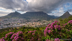 Table Mountain Pelargoniums (Panorama Paul) Tags: southafrica capetown tablemountain signalhill westerncape nikkorlenses nikfilters nikond800 wwwpaulbruinscoza pelargoniumcucullatum paulbruinsphotography