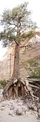 Awesome tree in the canyon at Kasha-Katuwe Tent Rocks NM