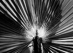 Radius  Radios Radi (Raul Jaso) Tags: flowers blackandwhite bw plants naturaleza plant flores flower planta hoja byn blancoynegro nature foglie contrast radio hojas lumix blackwhite leaf plantas flor natura palm contraste foglia fiori leafs fiore piante palma biancoenero radi pianta pl radius dmcfh8 panasonicdmcfh8 rauljaso rauljasofotografia rauljasophotography