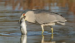 'BLACK-CROWNED NIGHT HERON' (sea25bill) Tags: california morning sun fish bird fall heron nature night wildlife slough