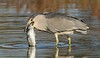 'BLACK-CROWNED NIGHT HERON' (sea25bill) Tags: california morning sun fish bird fall heron nature night wildlife slough