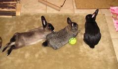 Well Adjusted (Anomieus) Tags: pet cute rabbit bunny bunnies animal furry konijn conejo tail ears rabbits paws coney coelho lapin kaninchen houserabbit coniglio cottontail  cony kanin  krlik leporidae nyl  iepure  leporid    kuni