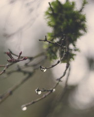 A branch in winter (kellimatthews) Tags: macro rain oregon moss waterdrop dof bokeh outdoor raindrop