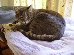 Charlie 3 days after teeth surgery (~ MCJ) Tags: cat charlie 9yo greybluecreamtabby 3daysafterteethsurgery had3teethremoved
