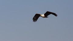 20151108_Shinde_0057.jpg (eLiL1860) Tags: bird birds botswana vögel vogel okavango fisheagle tierwelt schreiseeadler safari2015
