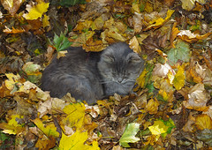 6152 Felix in Leaves Flickr (timmijo) Tags: autumn fallleaves fall cat maple autumnleaves catnap acer mapleleaves leafpile yellowleaves acersaccharinum autumncat catinleaves mapletreefoliage mapletreeleafpile