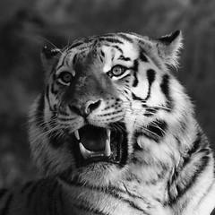 Tg Nbg         Samur der Sibirier         161204 (Eddy L.) Tags: tiergartennürnberg tiergartenfreundenürnbergev nuremberg tiger samur ☆2662012 amurtiger sibirischertiger ussuritiger pantheratigrisaltaica siberiantiger amurskiytigr tigredesibérie tigresiberiana tigresiberiano portrait fangzähne sw minoltaafhs45400mmg highiso sonyphotographing square teamsony wildcatworld wildfelinephotography schwarzweis monochrome blackwhite biancoenero blanconegro noiretblanc blackandwhite eddyl
