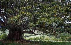 Numulgi Valley (dustaway) Tags: landscape tree moraceae ficusmacrophylla moretonbayfig australiantrees numulgi northernrivers nsw australia