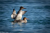 Mergansers (Ronda Hamm) Tags: 100400mkii bird california canon7dii morrobay animal birds merganser nature ocean outdoor sealife supertelephoto telephoto water wings