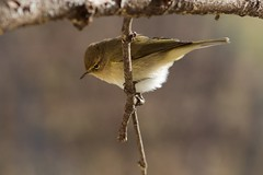 Luí piccolo - Chiffchaff (valentinastorti) Tags: italia inverno italy winter birds bird uccello birdwatching birdgardening yellow luípiccolo luí chiffchaff