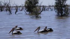 2016.11.17.13.09.44-Pelicans at Pamamaroo Lake (www.davidmolloyphotography.com) Tags: menindee kinchega kincheganationalpark pamamaroo lake