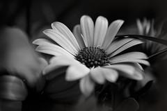 Gerbera (Wim van Bezouw) Tags: gerbera flower nature plant outdoor macro bw sony ilce7m2 black white blackwhite