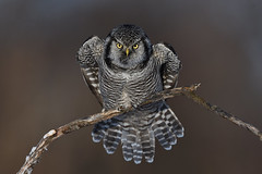 Chouette épervière / Northern hawk-owl (Sylvain Prince) Tags: surniaulula