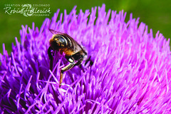 IMG_2442RMH 12.1 CMYK WebsiteRGB (creationartistcoPHOTO) Tags: bee animal flower purple photography photo beewing outdoors closeup macro honey honeybee