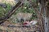 Leopard (brainstorm1984) Tags: pantherapardus botswana moremiwildreservat safari pantheraparduspardus campmoremi wildfelinephotography leopard moremigamereserve okavangodelta big5 desertdeltasafaris wildlife bigfive xakanaxa northwestdistrict botsuana bw