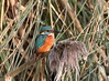 Kingfisher (Mukumbura) Tags: kingfisher bird fish nature food catch wildlife england alcedoatthis bishopspalace wells somerset