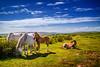 Wild Horses (strack_frank) Tags: wales arthursstone pferde tiere landschaft horses hors outdoor fohlen sky himmel grasland schimmel samsung nx30 wonderful