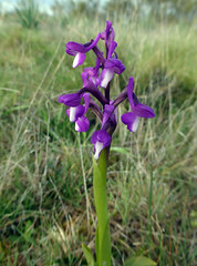 Orchis champagneuxii Barnéoud 1843 (ORCHIDACEAE) (helicongus) Tags: orchischamapagneuxii orchis orchidaceae guadalajara spain