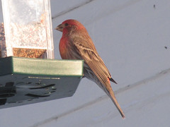 House finch (Haemorhous mexicanus) (tigerbeatlefreak) Tags: house finch haemorhous mexicanus bird nebraska