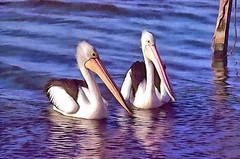 Pelicans8 #2 (bhojman) Tags: pelicans bird water lake photoart digitalpainting lakemacquarie nsw australia