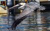 Brown Pelican (jason.betzner) Tags: pelican bird flight wings brownpelican florida palmetto water marina nature outdoors outside winter gulfcoast canon rebelt3 eos