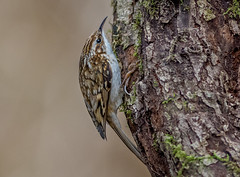 DSC0684 Treecreeper.. (jefflack Wildlife&Nature) Tags: treecreeper treecreepers trees birds avian animal wildlife wildbirds woodlands farmland forest hedgerows glades copse gardenbirds countryside nature